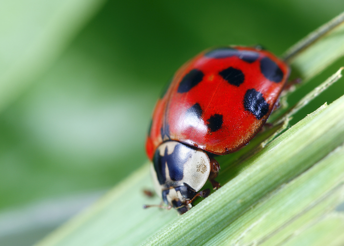 welsh word for ladybird